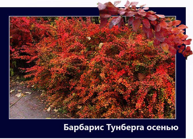 Как сажать кусты барбариса осенью 91