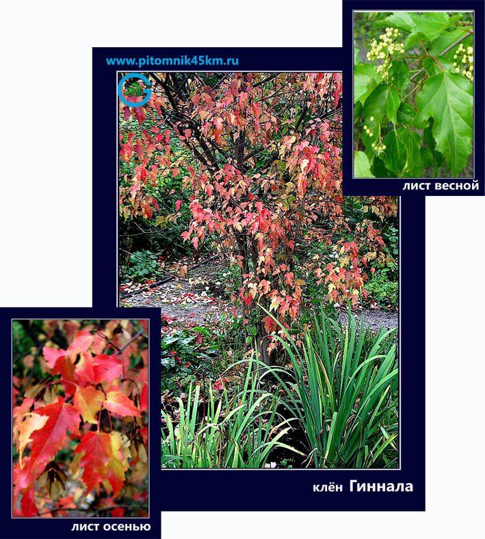 Саженцы деревья и кустарники