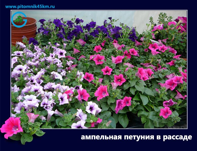 Рассада однолетних цветов фото с названиями 501