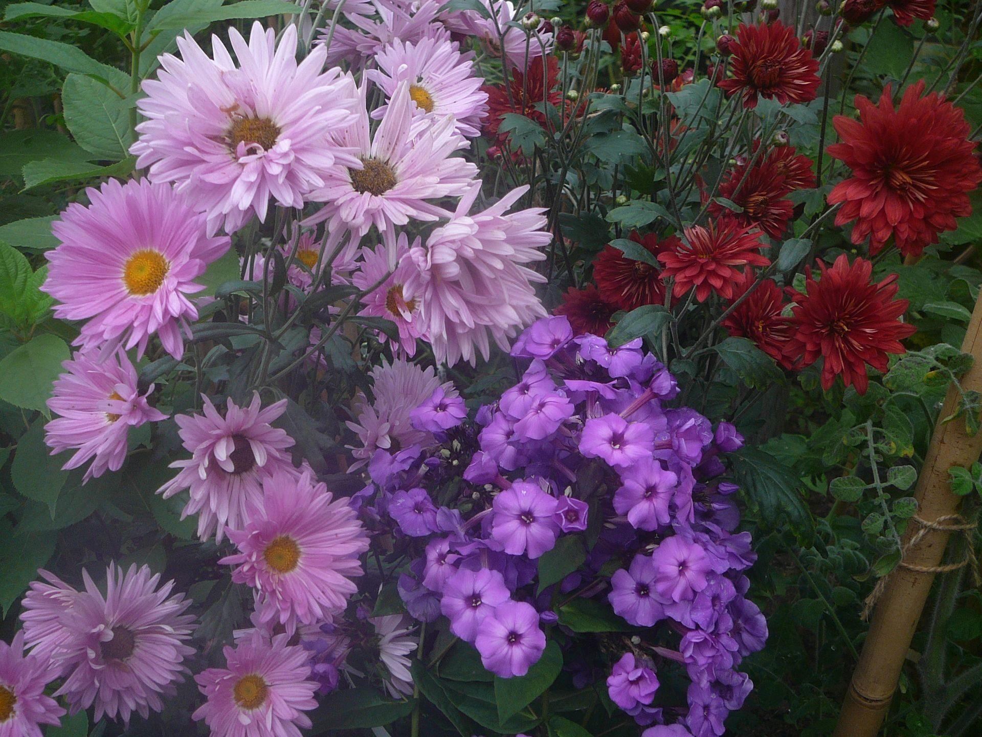 Цветы звездочки многолетние фото
