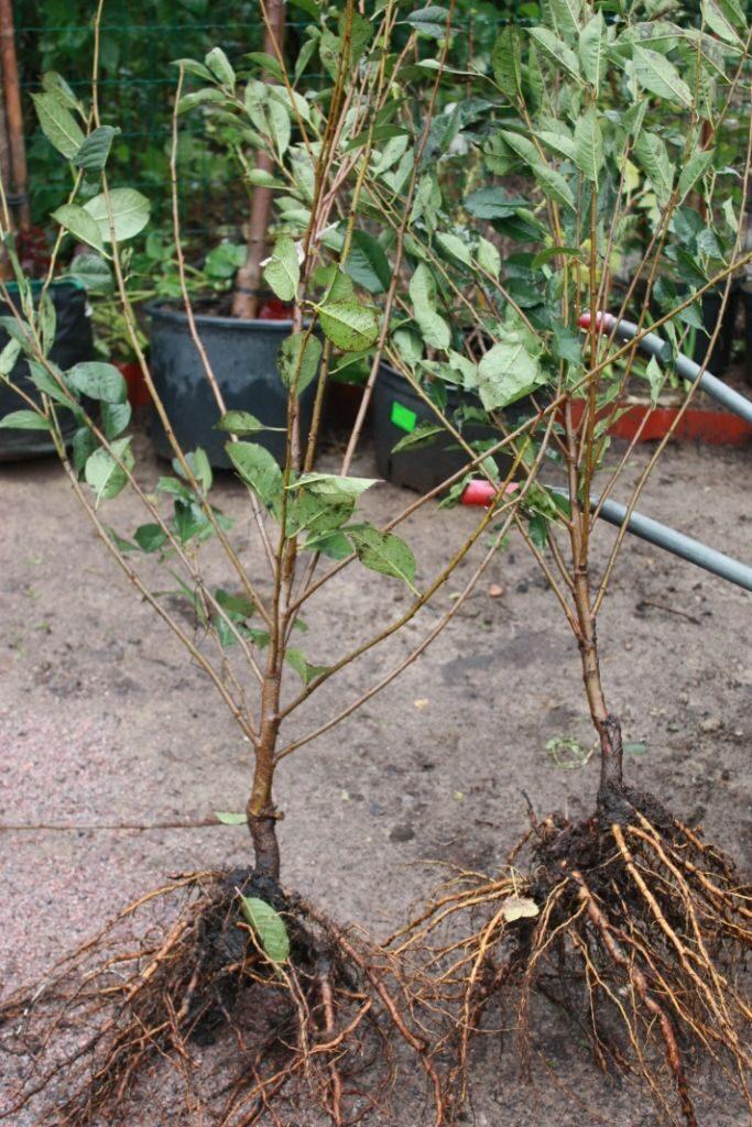 Выращивание саженцев на плодовом дереве 275