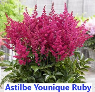 Astilbe Younique Ruby Red
