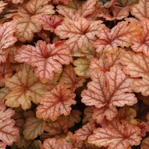 Heucherella Honey Rose 1
