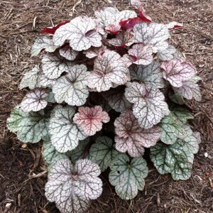 Heuchera Silver Blush 2