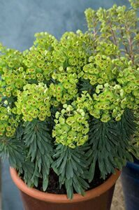 (Euphorbia) Tiny Tim в цветении