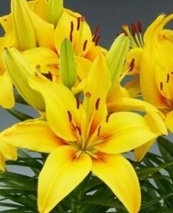 2. lilium happy sun 18-20