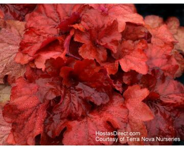 Heuchera Fire Alarm 2