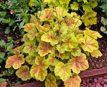 Heuchera Miracle 3
