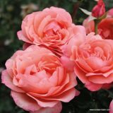 Coral Lions-Rose 1